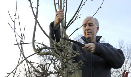 reduce-the-height-of-leading-shoots-and-cut-back-side-branches-2