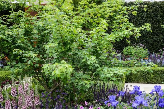 A field maple in a flower bed