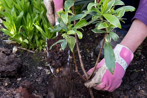 Planting Daphne odora 'Aureomarginata'