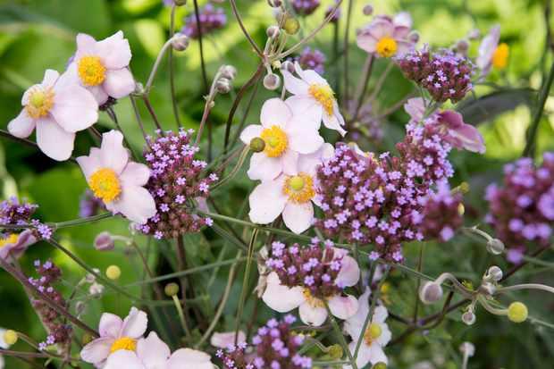 anemone-x-hybrida-honorine-jobert-2