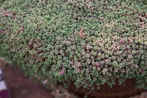 sedum-dasyphyllum-3