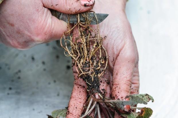 trimming-primrose-roots-2