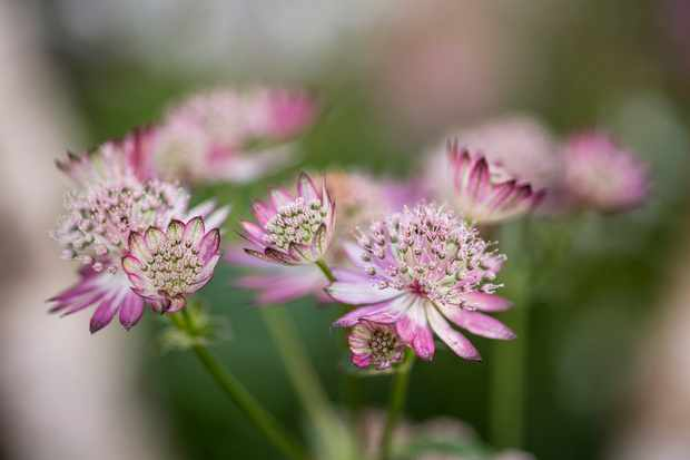 Deep red-pink flowers of Astrantia 'Claret'