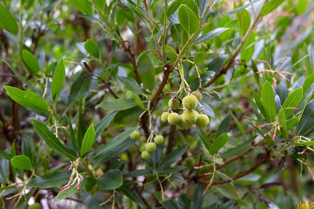 strawberry-tree-arbutus-unedo-10