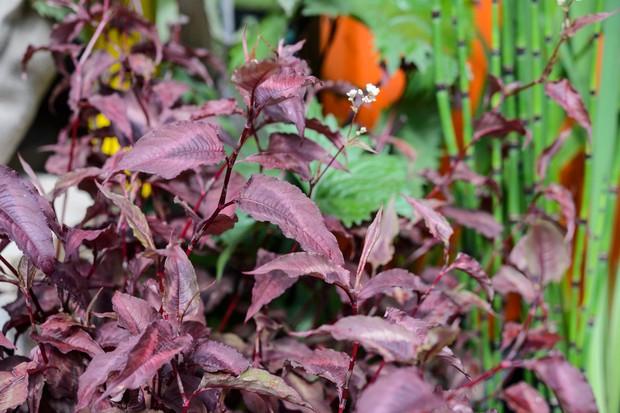 plants-for-a-jungle-style-border-persicaria-microcephala-2