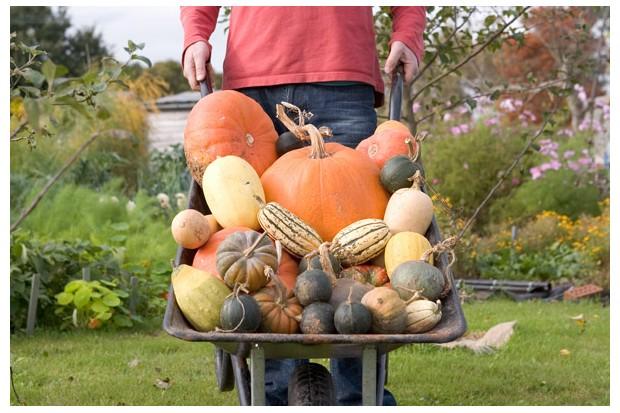 harvesting-pumpkins-and-squash-6