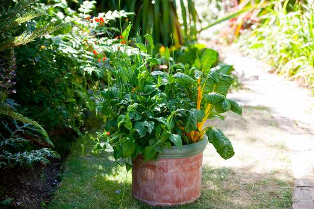 swiss-chard-growing-in-a-pot-4