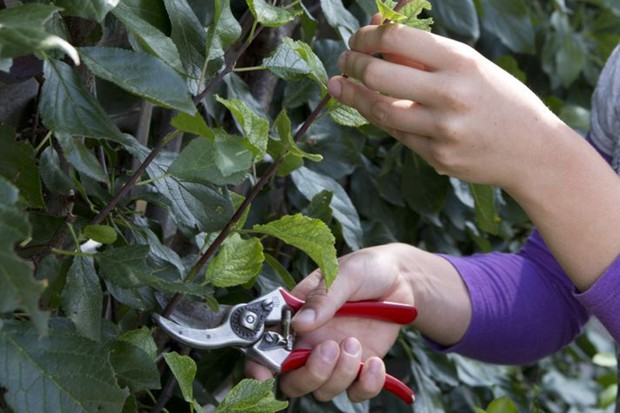 How to prune a plum tree - cutting back the leaders
