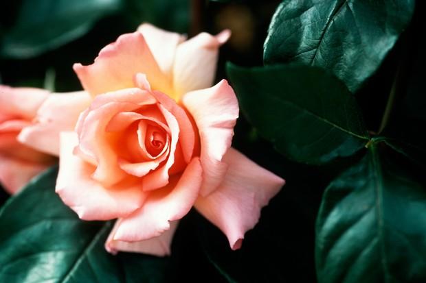 rosa-compassion-2