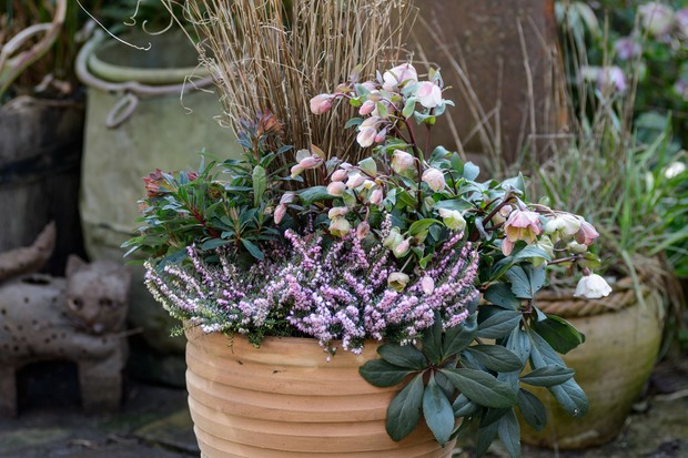 hellebore-and-heather-winter-container-2