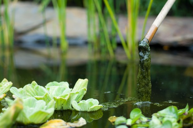 Removing blanketweed from a pond with the tip of a bamboo cane