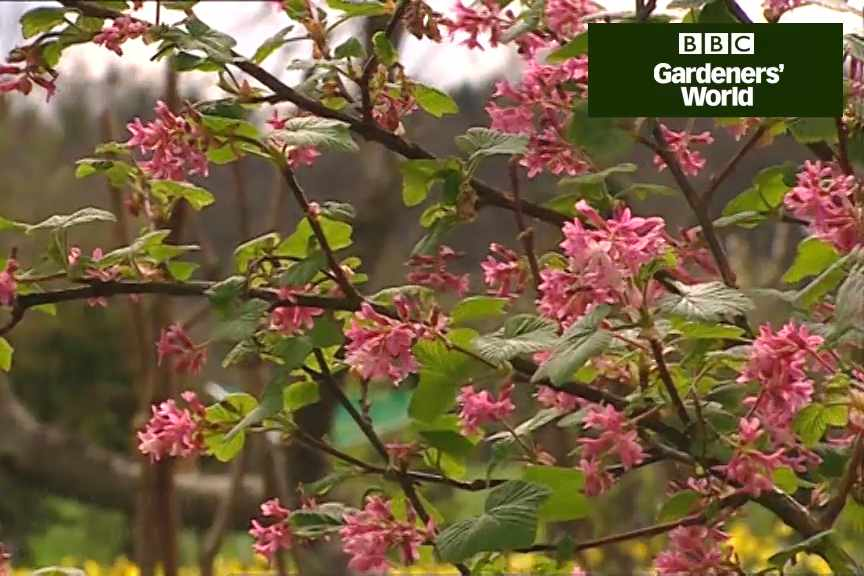 Pruning Early Flowering Shrubs Gardenersworld