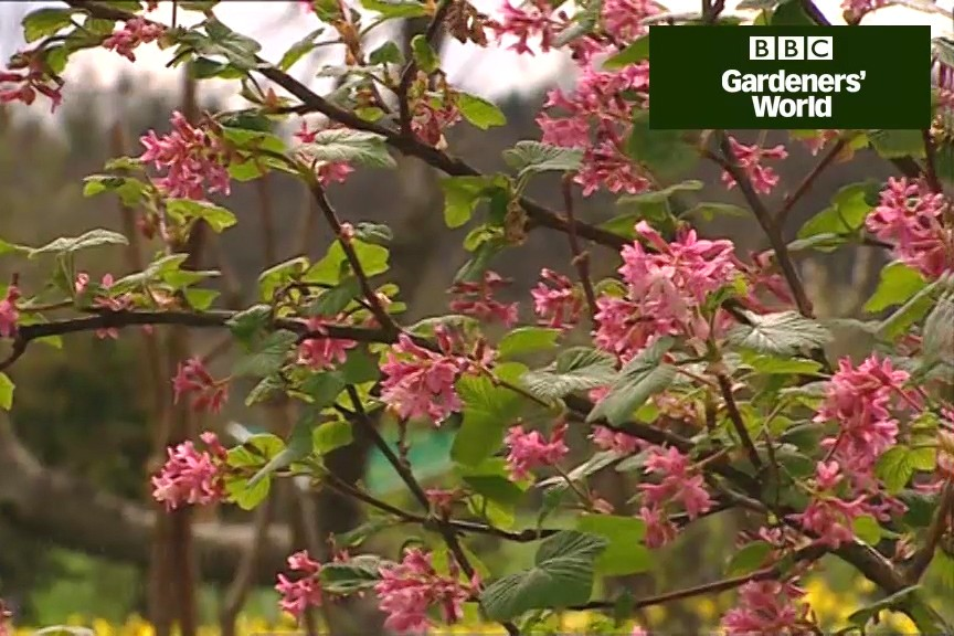 How to prune early-flowering shrubs video