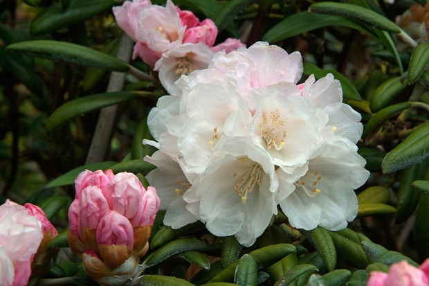 A blooming rhododendron with slightly yellowing leaves, typical of iron deficiency