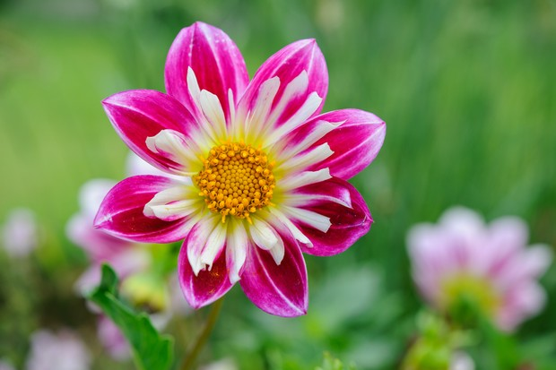 Pink and white collarette dahlia 'Yankee Doodle Dandy'