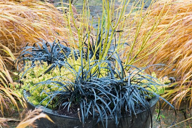 ophiopogon-and-cornus-winter-container-2