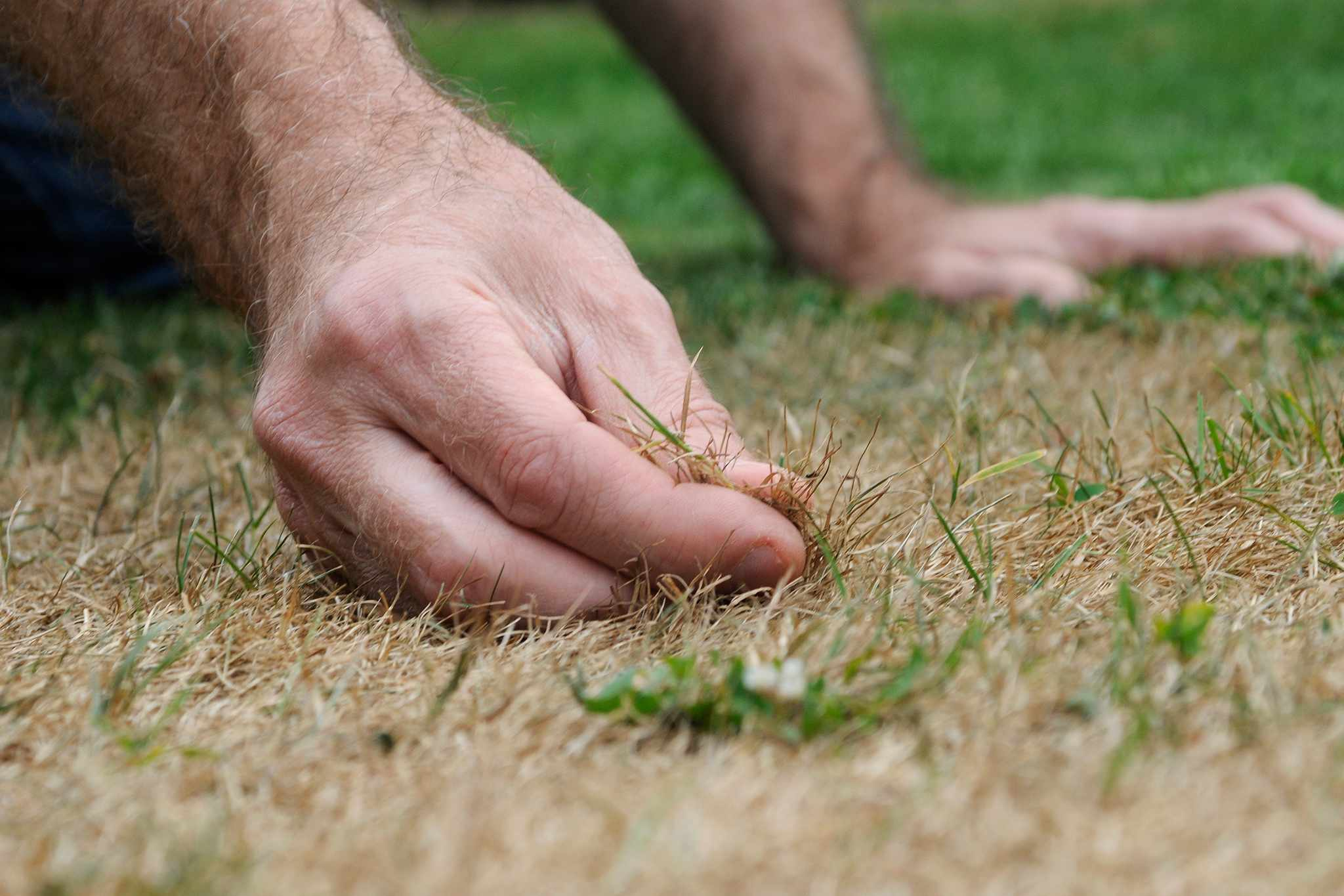 Repairing a lawn patch