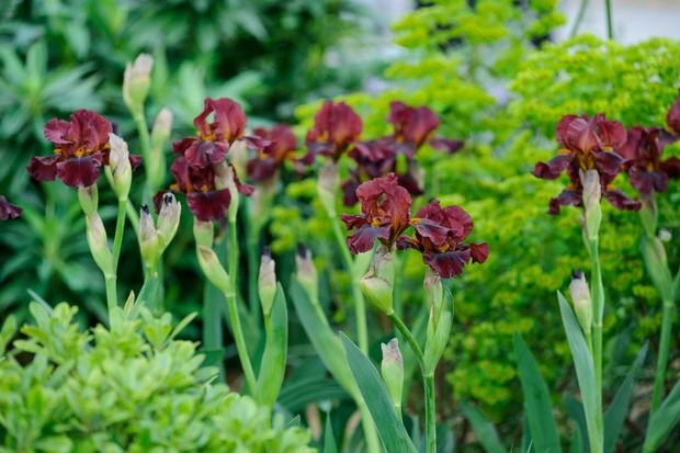 bearded-iris-quechee-2