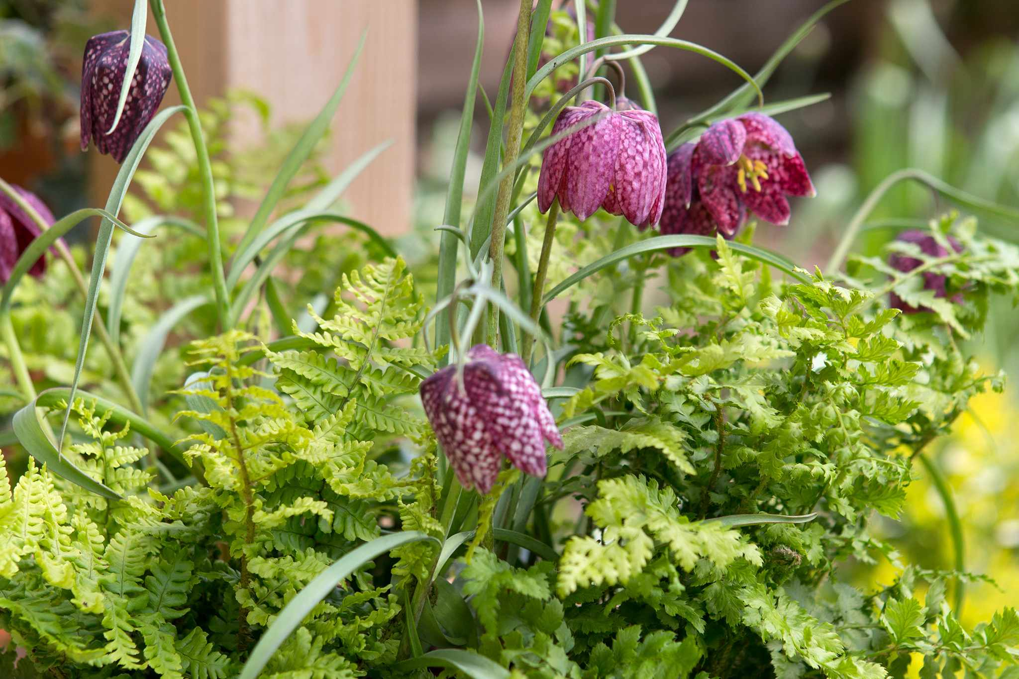 Fritillary and fern pot