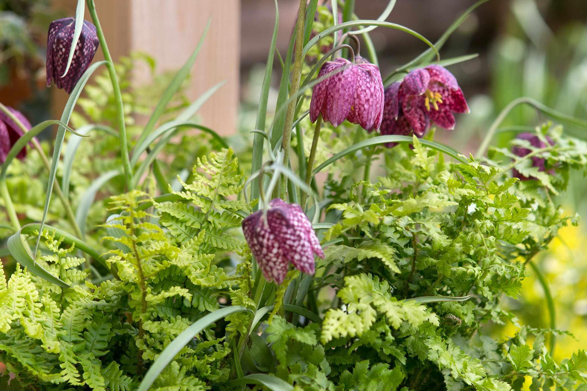 Fritillary and fern pot