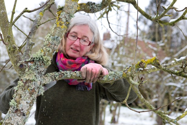 Rejuvenating an old apple tree in winter