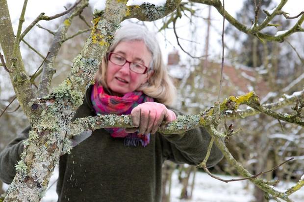 Rejuvenating an old apple tree in winter