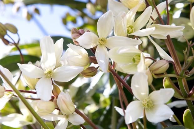 Ivory blooms of Clematis armandii