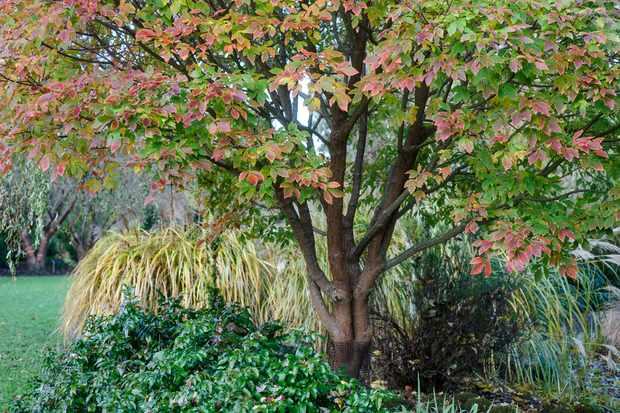 Acer griseum x nikoense 'Ginzam'