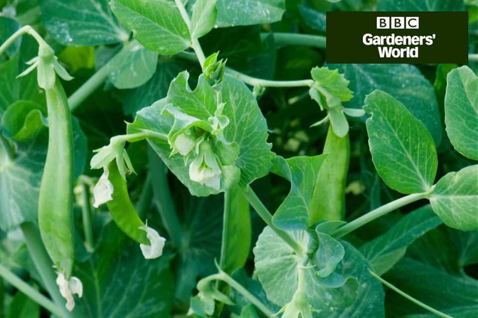 How to sow peas