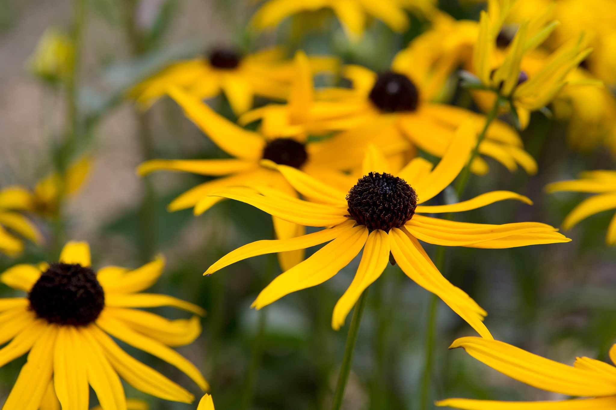 Perennial for a hot border - Rubdbeckia fulgida 'Goldsturm'