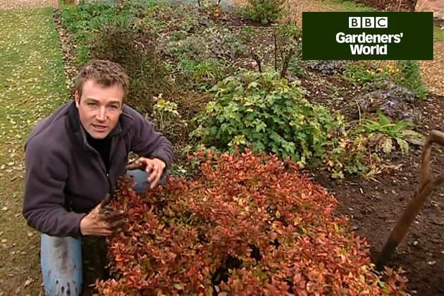 How to transplant shrubs