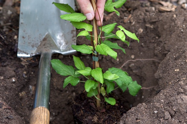 Planting a clematis