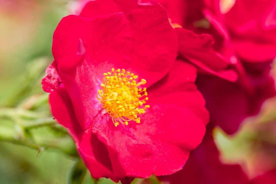 Red blooms of rose 'Flower Carpet RedVelvet'