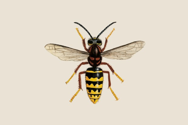 median-wasp-dolichovespula-media-2