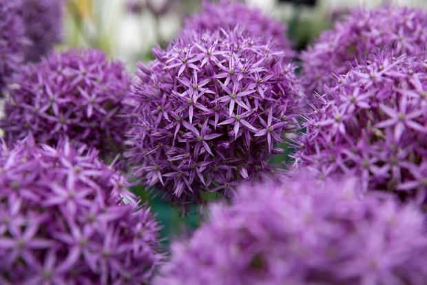 allium-purple-caila-2