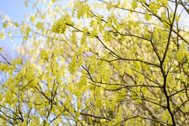 Yellow flowers on the bare stems of winter hazel