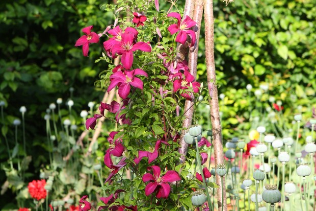 Magenta flowers of Clematis 'Madame Julia Correvon'