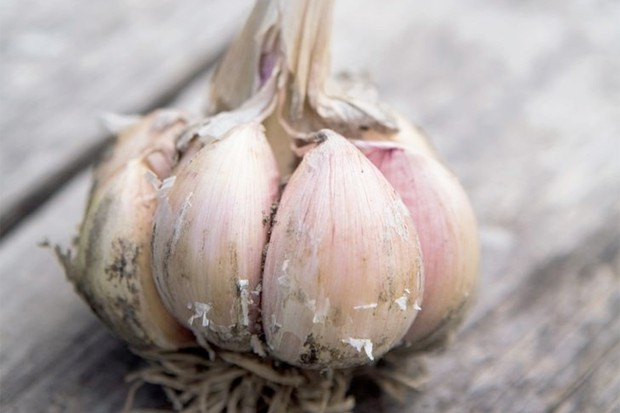 A purple-tinged bulb of garlic 'Early Purple Wight'