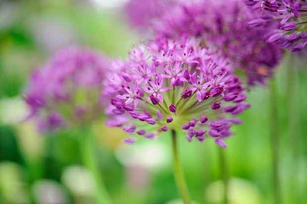Mauve flowers of Allium hollandicum 'Purple Sensation'
