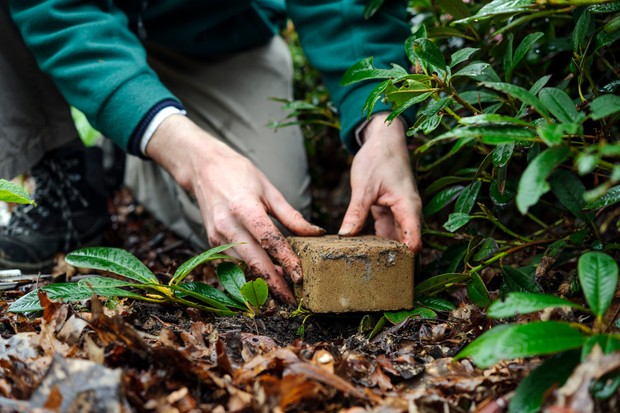 How to layer rhododendrons - weighing the stem down with a heavy stone
