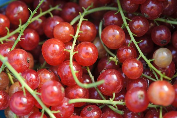 Freshly picked strings of redcurrants