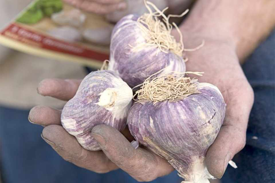 A handful of purple garlic bulbs