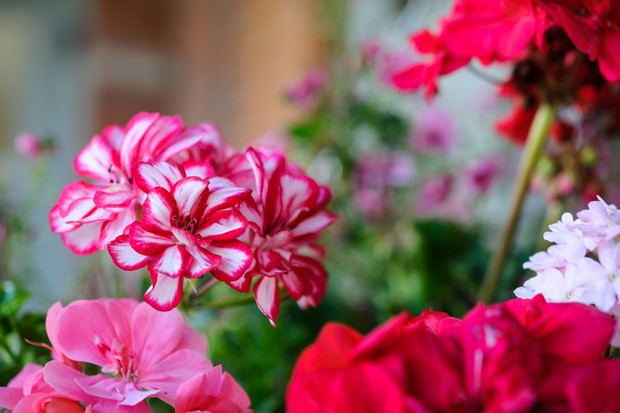 overwinter-bedding-plants-2