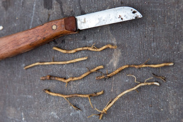 Cut the root pieces to size