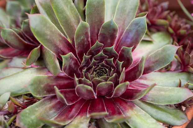 Deep-purple and green Sempervivum 'Purple Dazzler'