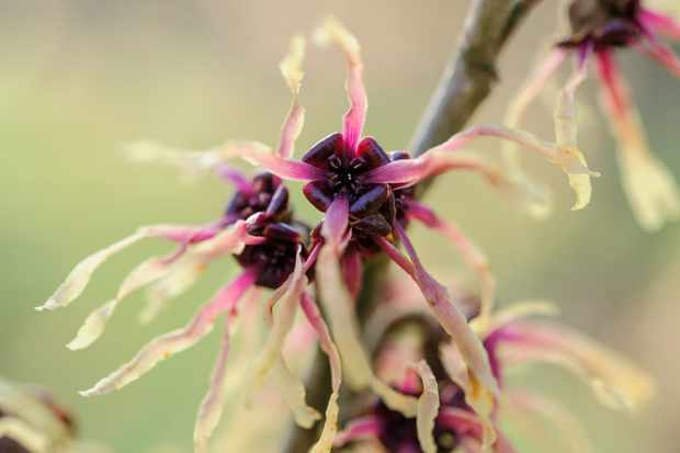 hamamelis-x-intermedia-strawberries-and-cream-6