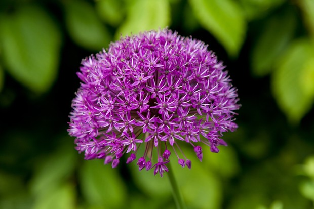allium-hollandicum-purple-sensation-4