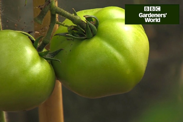 Monty Don's tomato trial (part five)