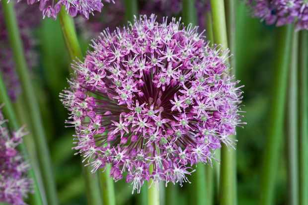 Best plants with purple flowers gardenersworld most ornamental alliums range in colour from white through to pink and purple theyre especially popular with pollinating insects and provide interest in mightylinksfo