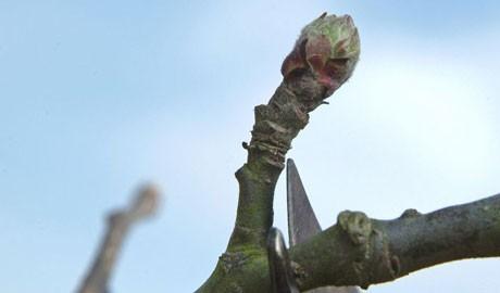 Pruning an apple tree in winter